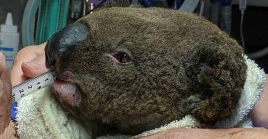 Incêndios na Austrália podem ter matado mais de 300 coalas