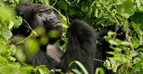Caçador que matou gorila raro em Uganda é sentenciado a 11 anos de prisão
